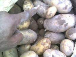 Продам моладой картошка в Иране