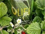Сок листьев оливкового дерева OLIFE- для всех! - photo 2