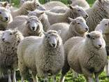 Овцы - photo 1
