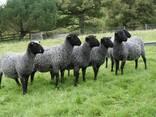 Овцы, ягнята жывой вес - фото 3