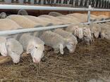 Овцы, ягнята жывой вес - фото 5