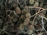 Шишки ольховые, ольха соплодия, ольха, шишки ольхи - photo 6