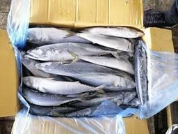 We are supplying in bulk fresh Mackarel fish , Hack fish , Tilapia , cat fish, pangasuis,